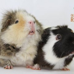 QLD Guinea Pig Refuge&#8217&#x3B;s 5th Birthday Celebrations